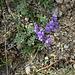 Linaria alpina subsp. petrae  ????