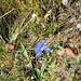 Gentiana verna L. Gentianaceae  Genziana primaticcia  Gentiane printanière  Frühlings-Enzian