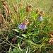 Campanula barbata L.<br />Campanulaceae<br /><br />Campanula barbata<br />Campanule barbue<br />Bärtige Glockenblume