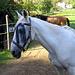 Pferd mit Vorhang