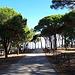 <b>Il tratto successivo è un piacevole percorso fra filari di pini domestici e vigneti di Vermentino-Alicante. Siamo in pieno periodo di vendemmia: è un piacevole andirivieni di trattorini carichi di cassette d'uva. </b>