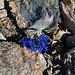 Die Enzianpracht strahlt noch intensiver in der Geröllwüste