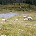 Diese Schafe musterten uns wie Ausserirdische - viele Menschen sind vermutlich dieser Tage nicht vorbei gekommen.