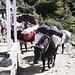I nostri yak ( veramente sono dzo ibrido tra un toro ed una femmina di yak)