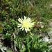 Weissliches Habichtskraut (Hieracium intybaceum)