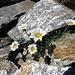 Alpenmargerite (Leucanthemopsis alpina)