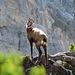 Eine Gamse in der Nordflanke der Schafnase.