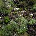 Im Aufstieg zum Gibidum: Gemeines Katzenpfötchen (Antennaria dioica)