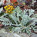 Ein seltenes Blümchen oben auf dem Gibidum: Graues Greiskraut (Senecio incanus)