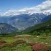 Alpenrosen beim Abstieg nach Gspon