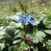 Schnee-Enzian (Gentiana nivalis)