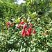 Gemeine Berberitze (Berberis vulgaris)