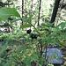 Schwarze Heckenkirsche (Lonicera nigra)