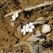 Kriechendes Gipskraut (Gypsophila repens)