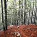 i boschi di faggio son sempre bellissimi