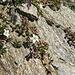 Zweiblütiges Sandkraut (Arenaria biflora)