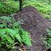 wie lange wohl eine Ameisenkolonie benötigt, bis ein so großer Hügel entsteht?