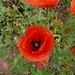 Coquelicot... une fleur de champs avec le Bleuet