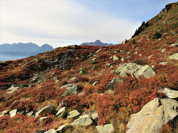 I mirtilli dalle foglie ormai rosse ed i numerosissimi sempreverdi Ginepri carichi di bacche.