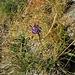 Phyteuma hemisphaericum L.<br />Campanulaceae<br /><br />Raponzolo alpino<br />Raiponce hémisphérique<br />Halbkugelige Rapunzel, Halbkugelige Teufelskralle<br />