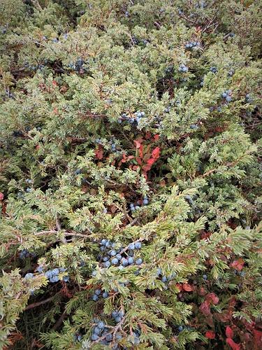 Juniperus communis L.<br />Cupressaceae<br /><br />Ginepro<br />Genévrier<br />Echter Wacholder