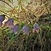 Campanula rotundifolia L.<br />Campanulaceae<br /><br />Campanula soldanella<br />Campanule à feuilles rondes<br />Rundblättrige Glockenblume<br />