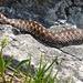 Kreuzotter, eine unserer wenigen Giftschlangen
