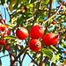 <b>In prossimità di Vaglio sono incuriosito da alcuni arbusti con bacche rosse: mi avvicino e scopro che si tratta della Rosa canina, ossia del Gratacüü. </b>