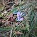 Cyclamen purpurascens Mill. <br />Primulaceae<br /><br />Ciclamino delle Alpi<br />Cyclamen d'Europe <br />Europäisches Alpenveilchen, Gemeine Zyklame, Erdscheibe