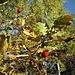 Crataegus azarolus L.<br />Rosaceae<br /><br />Azzeruolo<br />Azarolier, Azérolier, Épine d'Espagne<br />Azaroldorn<br /><br />