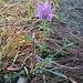 Centaurea scabiosa L. <br />Asteraceae<br /><br />Fiordaliso vedovino<br />Centaurée scabieuse<br />Skabiosen-Flockenblume<br />