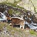 Küh bei Dischmabach.