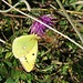 Goldene Acht (Colias hyale) oder Hufeisenklee-Gelbling (Colias alfacariensis)
