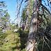 Teilweise trifft man auf urchige Baumreste.