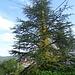 der Wein rankt an dieem Baum hoch und seine Blätter verlieren jetzt die Farbe
