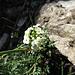 Gämskresse (Pritzelago alpina)
