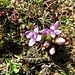 Feld-Enzian (Gentiana campestris)