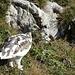 Alpenschneehuhn (Lagopus muta)