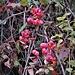 <br />Euonymus europaeus L.<br />Celastraceae<br /><br />Berretto da prete, Fusaria comune, Evonimo comune<br />Bois carré, Fusain d'Europe <br />Gemeines Pfaffenhütchen, Gemeiner Spindelstrauch <br />