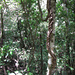 Una liana: sono radici che fuoriescono dal terreno risalendo gli alberi