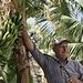 Quest'agricolture ci sta spiegando i segreti dellla coltivazione del banano (© Fabrizio)