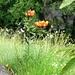 Feuerlilien und Paradieslilien im Val d'Ambra