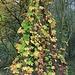 Verwilderter Hopfen nimmt einen Teil eines Jungbaumes als Kletterhilfe in Beschlag.