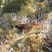 Roter Spitzkopfschleimfisch (Tripterygion tripteronotum) in Schirmalgen (Acetabularia)<br />Primavera in mare / Frühling im Meer