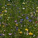 Heilgtum Insektenblühwiese / Fiori per gli insetti, una cosa sacra!