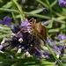 Wanze (Heteroptera) auf Lavendel