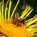 Wildbiene / [https://www.apicoltura.ch/apidologia/le-api-selvatiche.html Api selvatiche]<br /><br />In Deutschland gibt es über 550 Wildbienenarten. Anders als die Honigbienen leben die meisten Wildbienen nicht in größeren sozialen Einheiten, sondern als Einzelgänger. Sie werden deswegen auch als Solitär- oder Einsiedlerbienen bezeichnet. Mehr als 400 Arten bauen ihre Nester eigenständig, 135 Arten parasitieren an anderen Wildbienenarten und sparen sich das eigene Nest. 75 Prozent aller Wildbienenarten nisten im Boden, der Rest sucht sich Pflanzenhalme oder nutzt Fraßgänge von Käfern im Holz. [https://www.deutschland-summt.de/wildbienenarten.html Quelle siehe hier]<br /><br /><br />(Danke an meine Spezialisten:-))<br />
