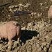 Älpele<br />Auch Schweine sind sehr intelligent! / Anche loro sono molto intelligenti!<br /><br />Auf dem Älpele wird leider umgebaut, die halbe Alm abgerissen und neu gestaltet. Auch die Pächter wechseln nach vielen Jahren, find`s schade, die waren sehr nett.