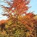 Herbstliche Buche