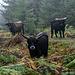 """... als ich meinen Blick hob, da sich links eine Lichtung auftat. Und ich schaute direkt in die neugierigen Augen einer Herde Heckrinder. Kurze Verwirrung auf beiden Seiten. Kommt halt auch net so oft einer vorbei :-) Wir musterten uns lange gegenseitig aber weder sie noch ich wurden aggressiv.   Die Rinder werden auf Hochflächen im Nordschwarzwald, sog. """"Grinden"""" gehalten und sollen dafür sorgen, dass diese Flächen, in denen durch jahrhundertelange Beweidung Hochmoore mit seltenem Artenreichtum entstanden sind, nicht wieder """"zu-walden"""".  Bei meiner August-Tour waren die Rinder noch nicht an dieser Stelle. Sie dürfen sich """"abschnittsweise"""" durch die Grinden futtern, die Zaunbegrenzungen werden offenbar regelmässig neu gesteckt."""